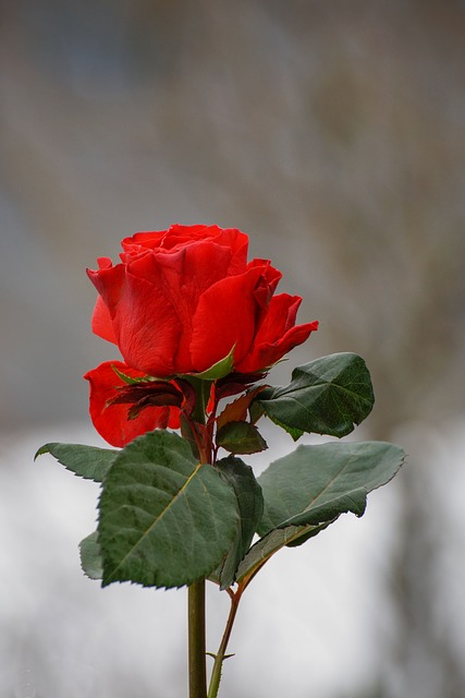 Rose, Red, Valentine, Flower, Symbol, Love, Nature