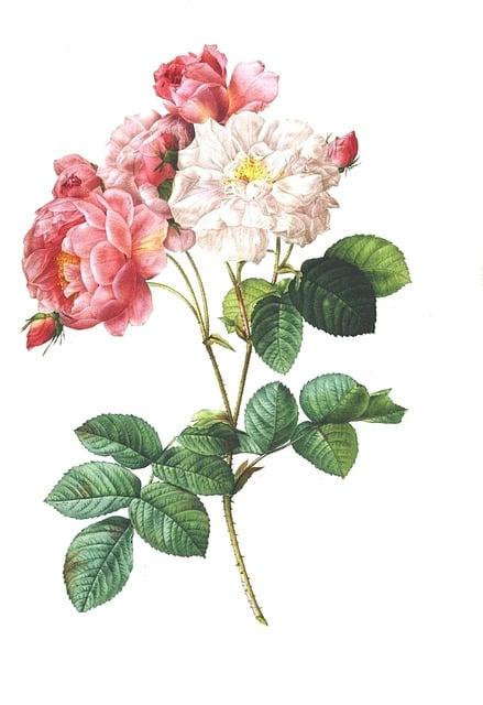 Rose, Vintage, Flower, Floral, Antique, Botanical