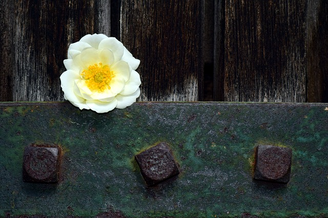 Wild Rose, White, Blossom, Bloom, Nature, Rose, Plant