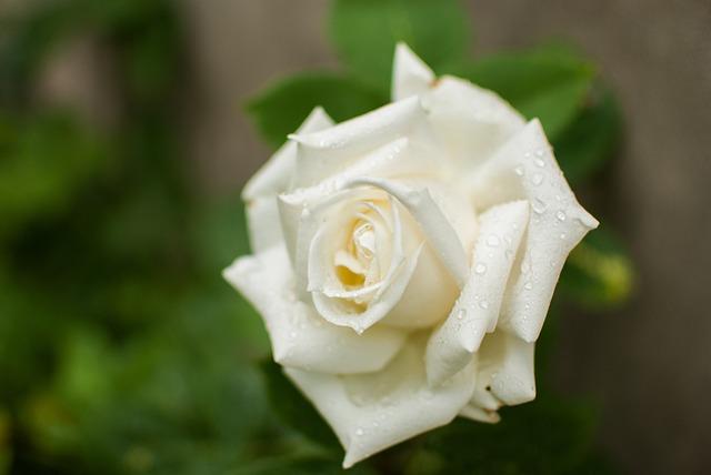 White Rose, Rose, Flower, Rose White, Garden, Spring