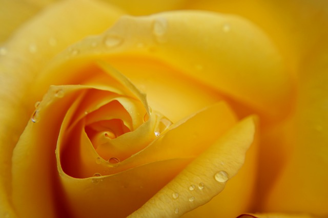Yellow Rose, Macro, Rose, Feeling, Passion, Background