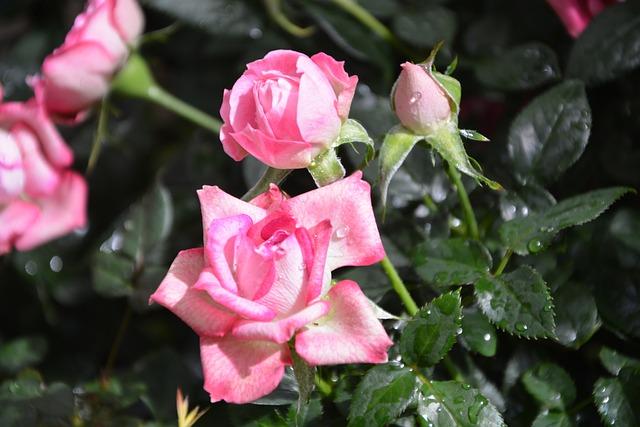Flower Roses, Rosebuds, Flowers Pungent, Flower, Plant