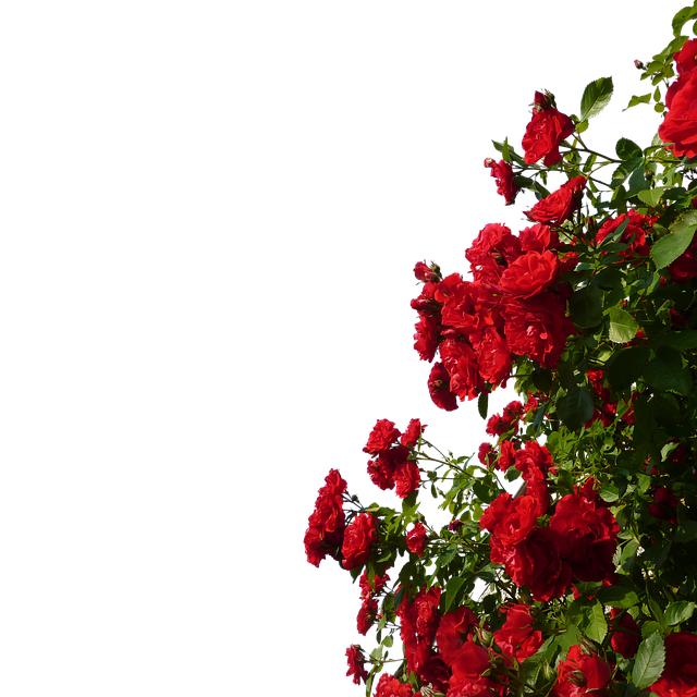 Rosebush, Flowers, Red, Roses