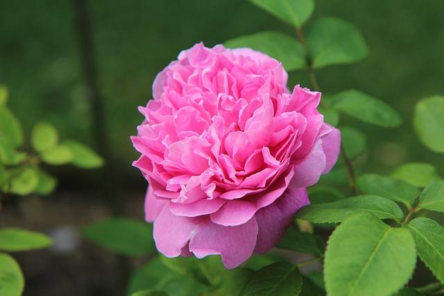 English Rose, Pink, Rosebush, Pink Rose, Pink Flower