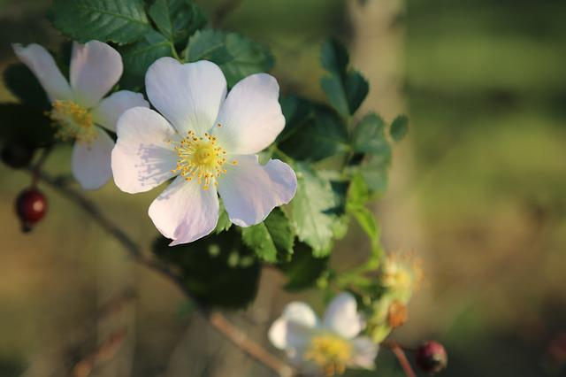 Rosehip, Flower, Flowers, Plant