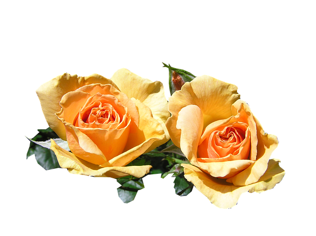 Flowers, Roses, Apricot, Fragrant, Cut Out, Isolated