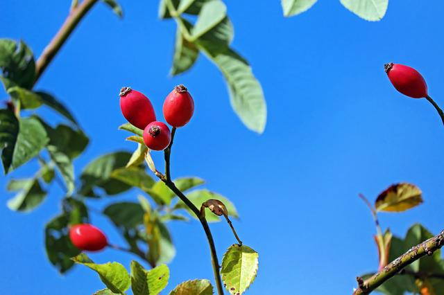 Rose Hip, Fruit, Red, Bush, Plant, Roses, Sky, Blue