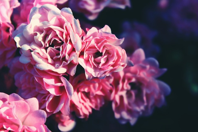 Roses, Bouquet Of Roses, Rose Bush, Bush, Pink, Flowers