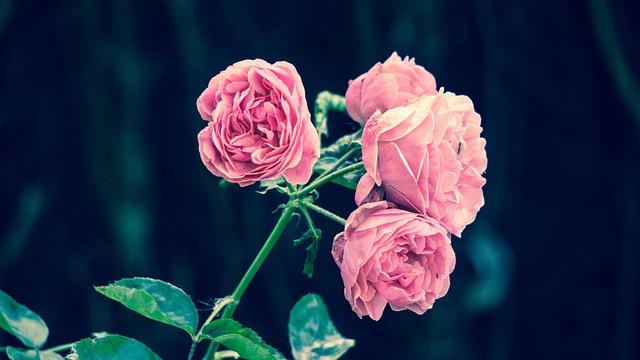 Pink Roses, Flower, Garden, Pink, Roses, Vintage, Retro