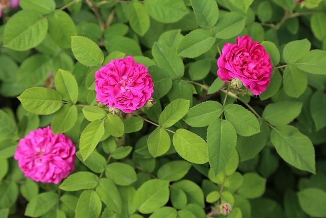 Rose, Spring, Roses, Nature, Flower, Leaves, Pink Roses