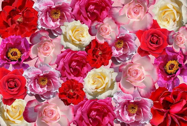 Roses, Flowers, Love, Red, Pink, Nature, Garden Roses