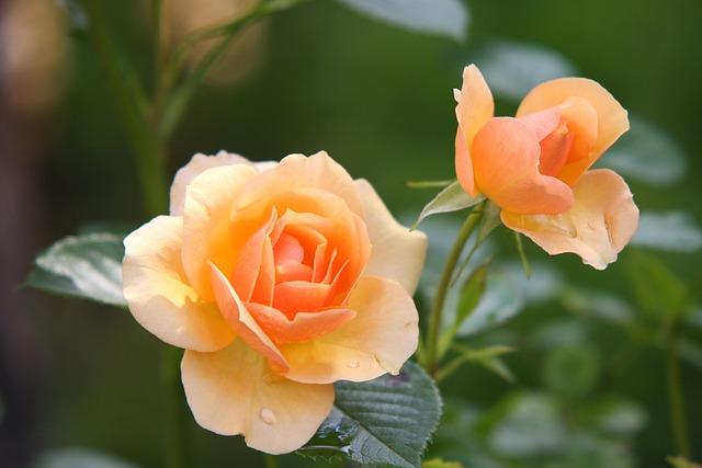 Roses, Orange Roses, Flowers, Petals, Orange Flowers