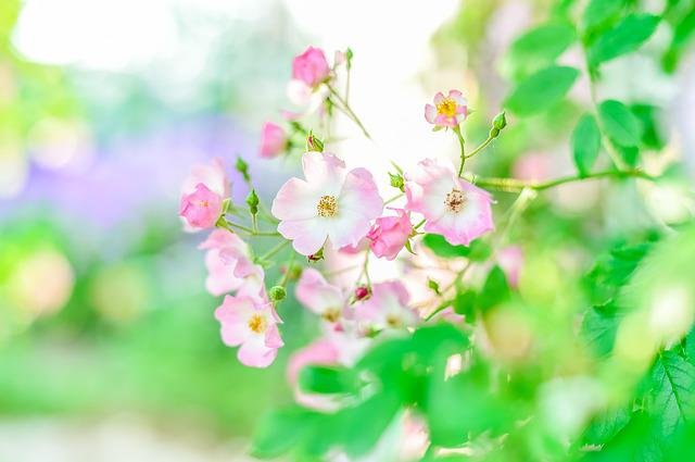 In The Early Summer, Rose, Roses, Rose Garden, Plant