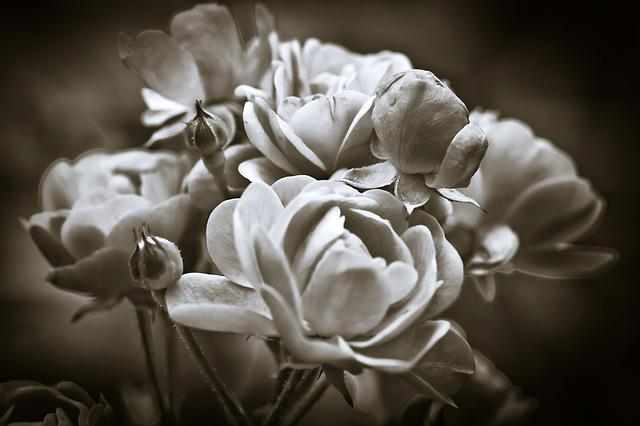 Roses, Flower, Blossom, Bloom, Way Of The Roses, Nature