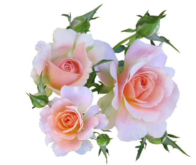 Flowers, Pink, Roses, Fragrant, Perfume, Cut Out