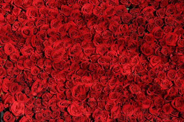 Rose, Roses, Flowers, Red, Valentine, Rose Wallpaper