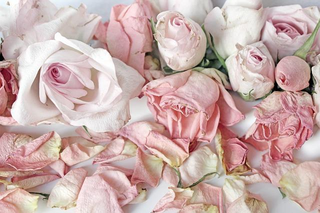 free photo roses white romantic vintage background pink