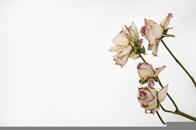 Roses, Herbarium, Dried Flowers, Wallpaper, Withered
