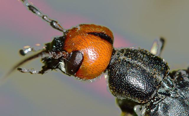 Insects, Beetles, Nero, Head, Rossa