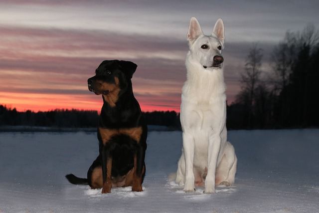 White Shepherd Dog, Dog, Rottweiler, Sunset, Winter