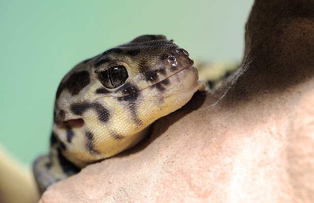 Wonder Gecko, Rough Scincus, Terrarium, Reptile