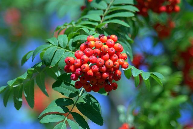 Rowan, Red, Balls, Fruit, Tree, Rowan Berries, Plant