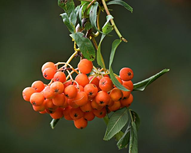 Rowan, Tree, Nature, Foliage, Green, Summer