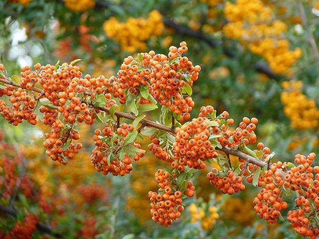 Firethorn, Orange, Plant, Berries, Bush, Rowanberries