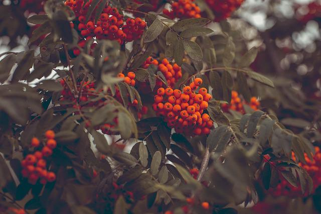 Ash, Rowanberries, Mountain Ash, Aesthetic, Leaves