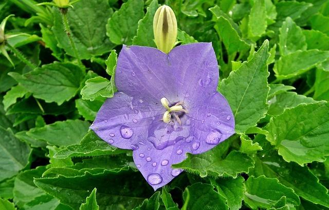 Nature, Garden, Plant, Leaf, Flower, Rozwar, Blue