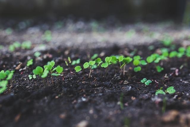 Rucola, Argula, Sproutus, Grow, Growing, Young