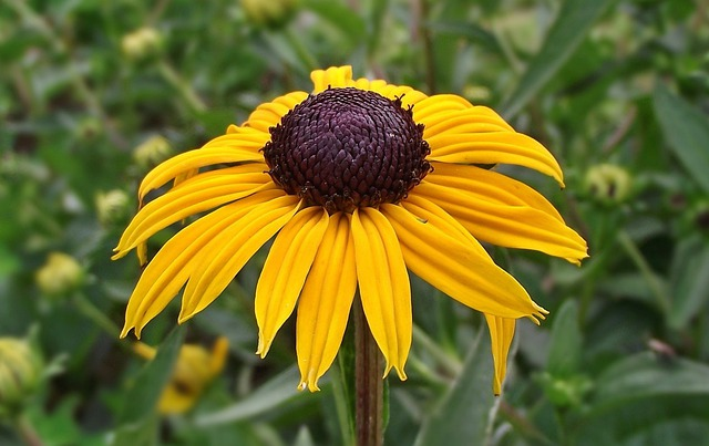 Nature, Flower, Rudbeckia Brilliant, Summer, Plant