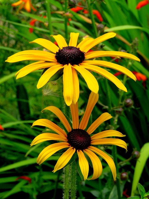 Sun Hat, Rudbeckia, Gold Storm, Yellow, Flower, Blossom