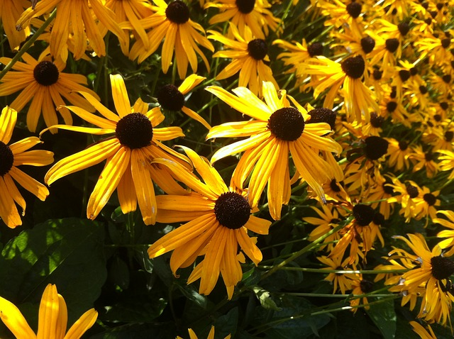 Rudbeckia Fulgida, Gold Sturm, Plant, Garden, Bloom