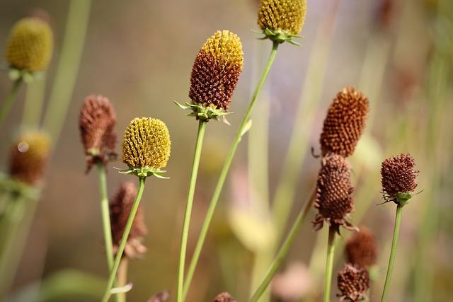 Coneflower, Rudbeckia, Faded, Pods, Flora, Plant