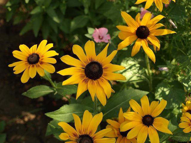 Rudbekia Bicolor, Bicolor Rudbeckia Hirta, Flower
