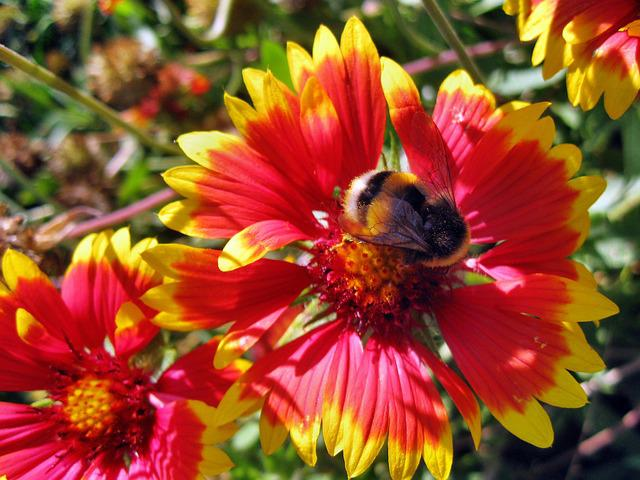 Rudbekia, Insect, Summer