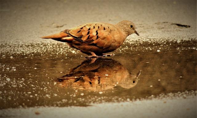 Ruddy Ground Dove, Weasels, Birdie, Bird, Mirror