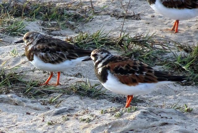 Ruddy Turnstone, Arenaria Interpres, Wading Bird