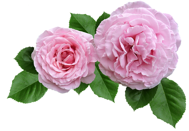 Rose, Pink, Ruffled Petals Cut Out