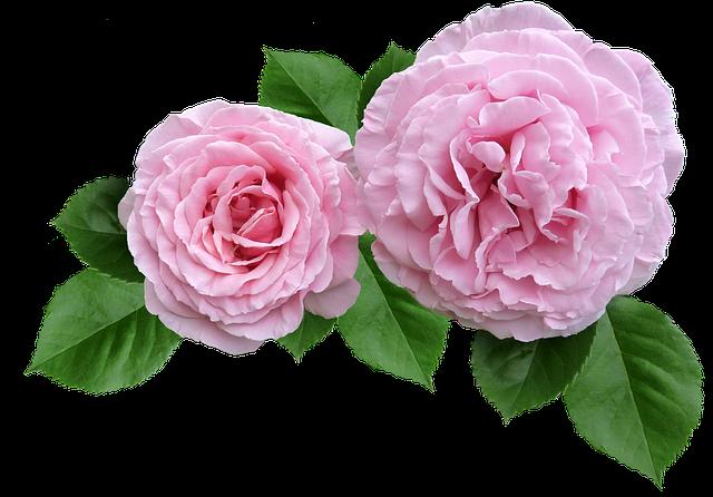 Rose, Pink, Ruffled Petals Cut Out