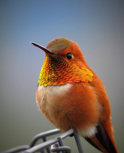 Hummingbird, Bird, Animal, Rufous Hummingbird