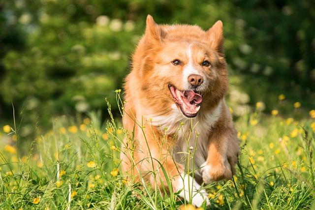 Dog, Run, Play, Meadow, Flowers