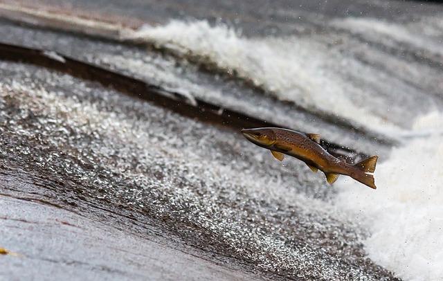 Salmon, Fish, Run, Jump, Travel