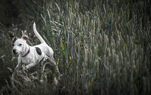Dog, Meadow, Running