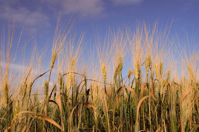 Cereal, Wheat, Field, Crop, Rural, Barley, Nature