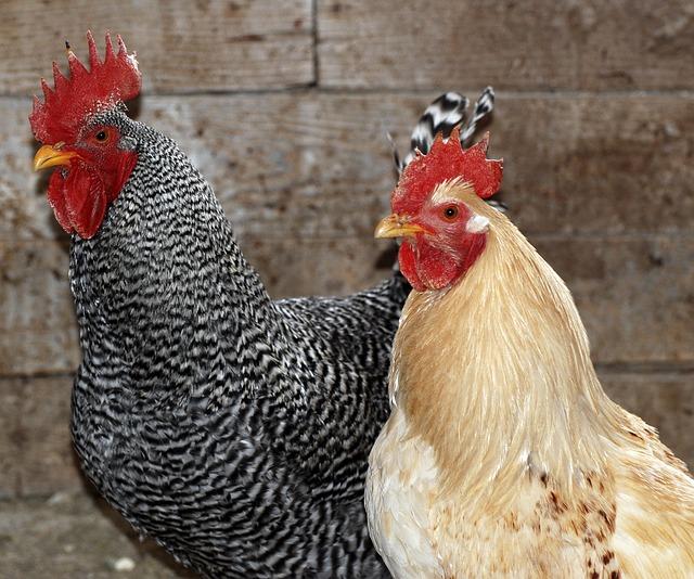Chicken, Farm, Poultry, Hen, Rural, Bird, Agriculture