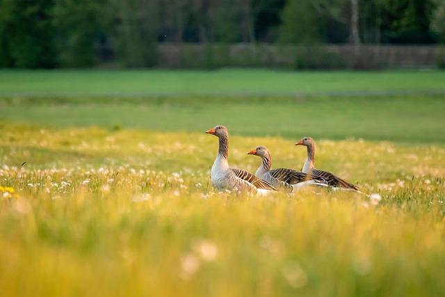 Nature, Summer, Wild Goose, Water Bird, Rush