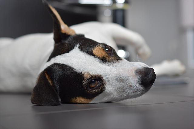 Dog, Jack Russel, Cute, Animals, Terrier, Jack, Russel