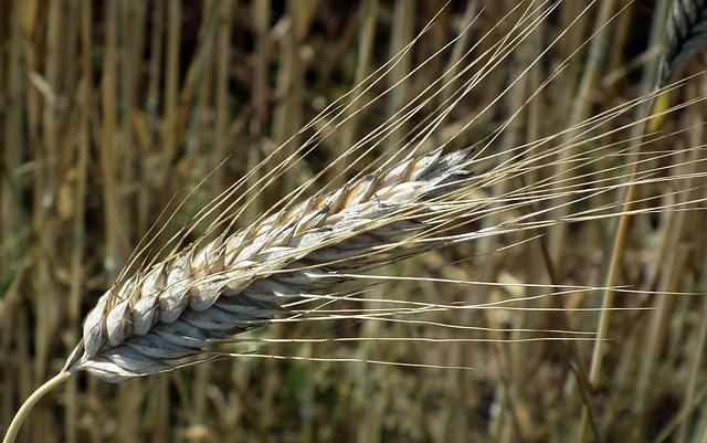 Corn, Kłos, Rye, Bread, Straw, Nature